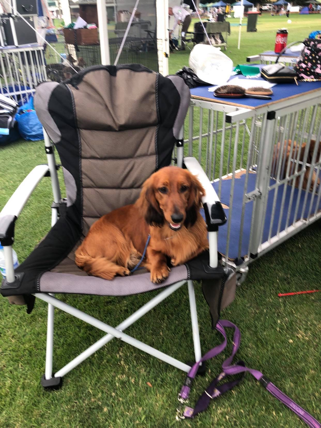 Aust. Ch. Belcara Dare Devil – 'Devil' – Just Chilling at a Dog Show